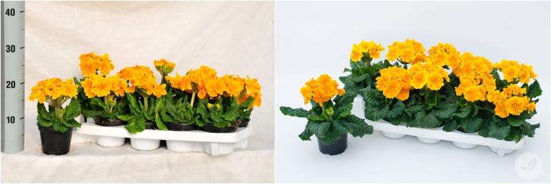 KW_10_Primula Elatior 11cm(067)